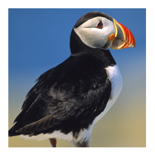 Adopt an Atlantic Puffin
