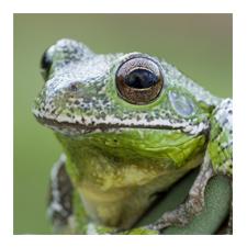 Adopt a Barking Tree Frog