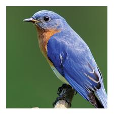 Adopt an Eastern Bluebird