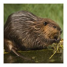 Adopt an American Beaver