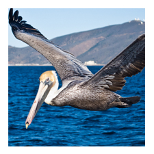 Adopt a Brown Pelican