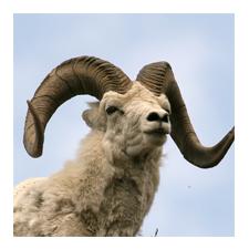 Adopt a Dall Sheep
