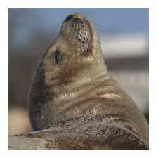 Adopt a Harbor Seal