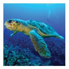 Adopt a Loggerhead Turtle