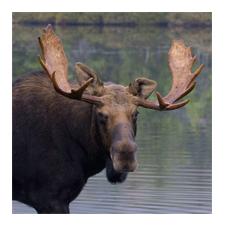 Adopt a Moose