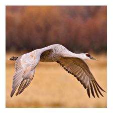 Adopt a Sandhill Crane