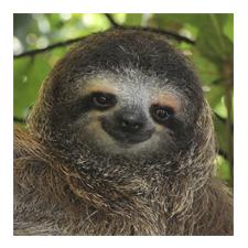 Adopt a Three-Toed Sloth