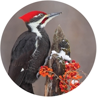 Pileated Woodpecker Envelope Seal