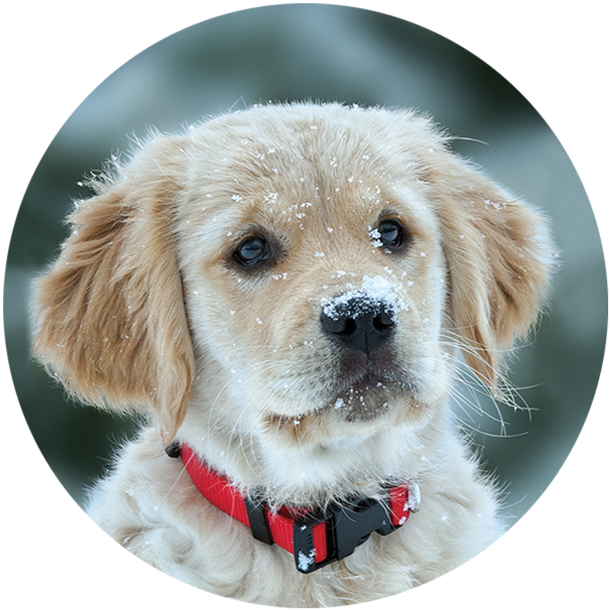 Golden Retriever Puppy in Snow Envelope Seal