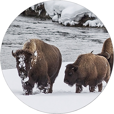 Winter Bison Envelope Seal