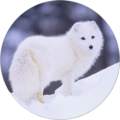 Peaceful Arctic Fox Envelope Seal