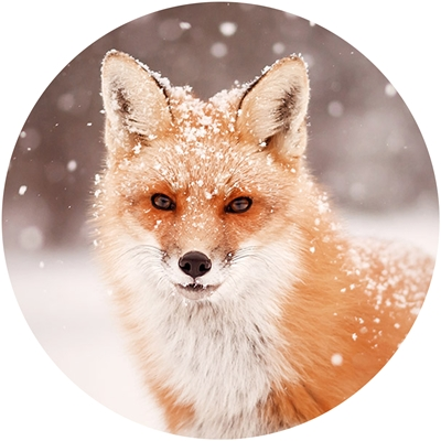 Red Fox in Snow Envelope Seal