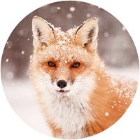 Red Fox in Snow Envelope Seal