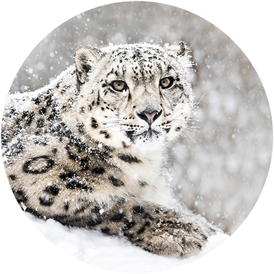 Snow Leopard Envelope Seal