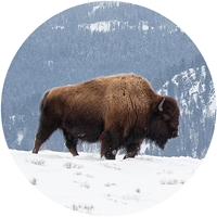 Bison in the Snow Envelope Seal