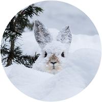 Snowshoe Hare in Moose Print Envelope Seal