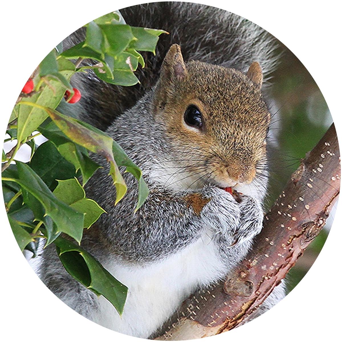 Squirrel in Holly Envelope Seal
