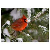Cardinal in Pine Tree Card