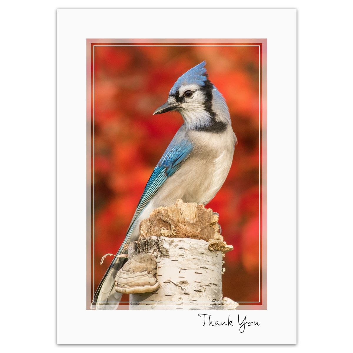 Blue Jay Thank You Card