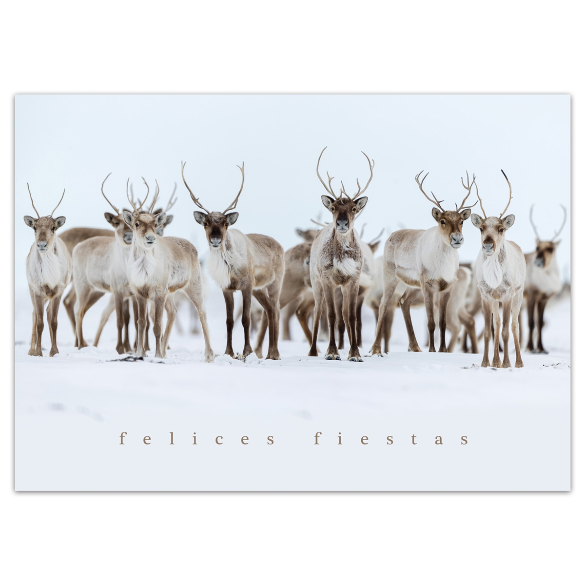 Caribou Curiosity Card - Spanish