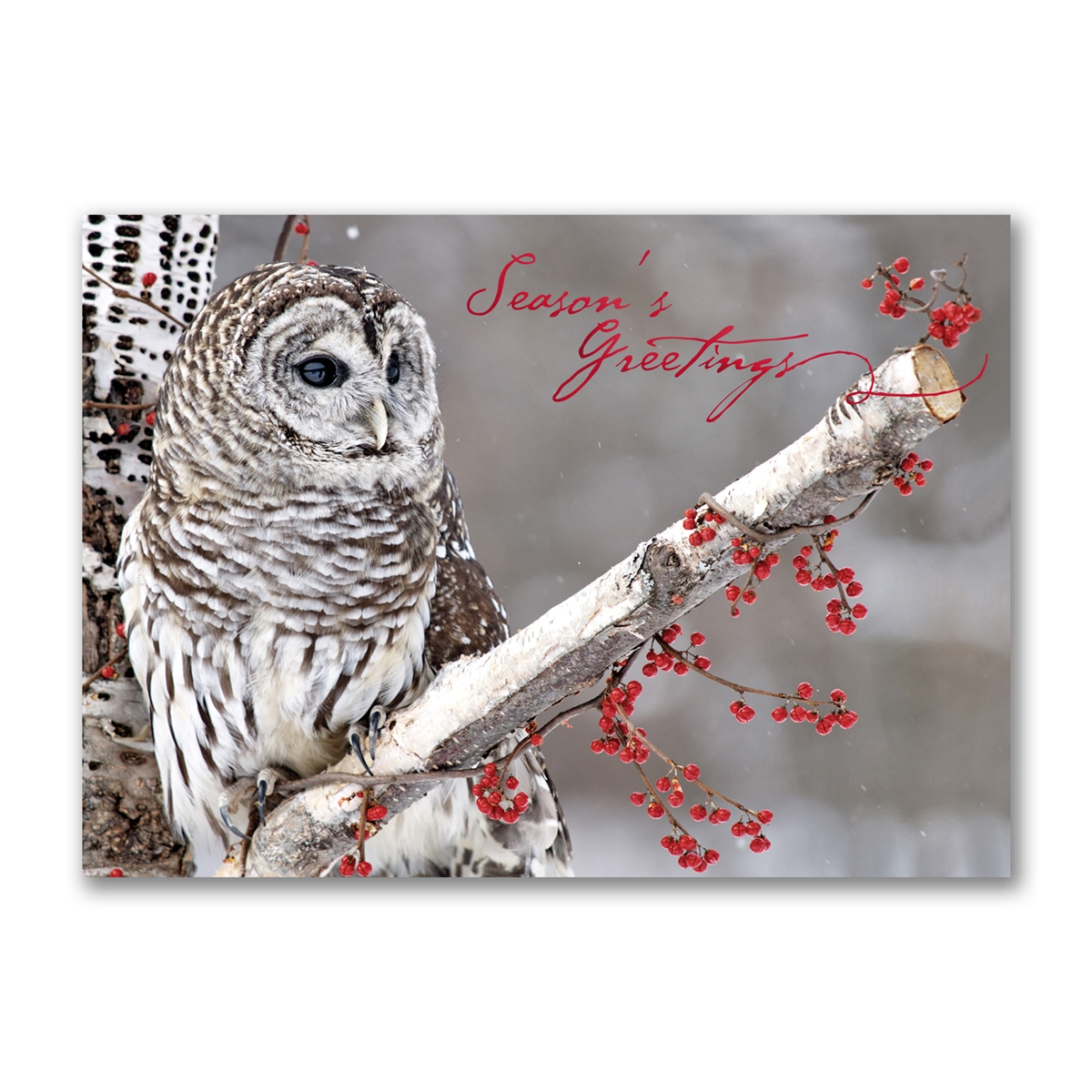 Roosting Barred Owl Holiday Cards
